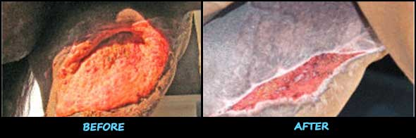 Before and After Horse Wound Treatment