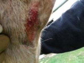 Horse Chest Wound Care
