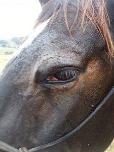 Horse Eyelid Wound Treatment