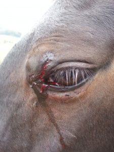 Horse Eyelid Wound Care