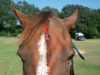 Horse Head Wound Care