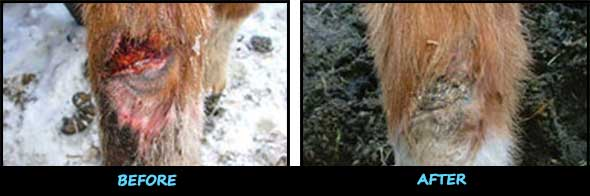 Before and After Horse Wound Treatment Product